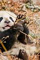 born china snow leopard story pandas monkeys 40
